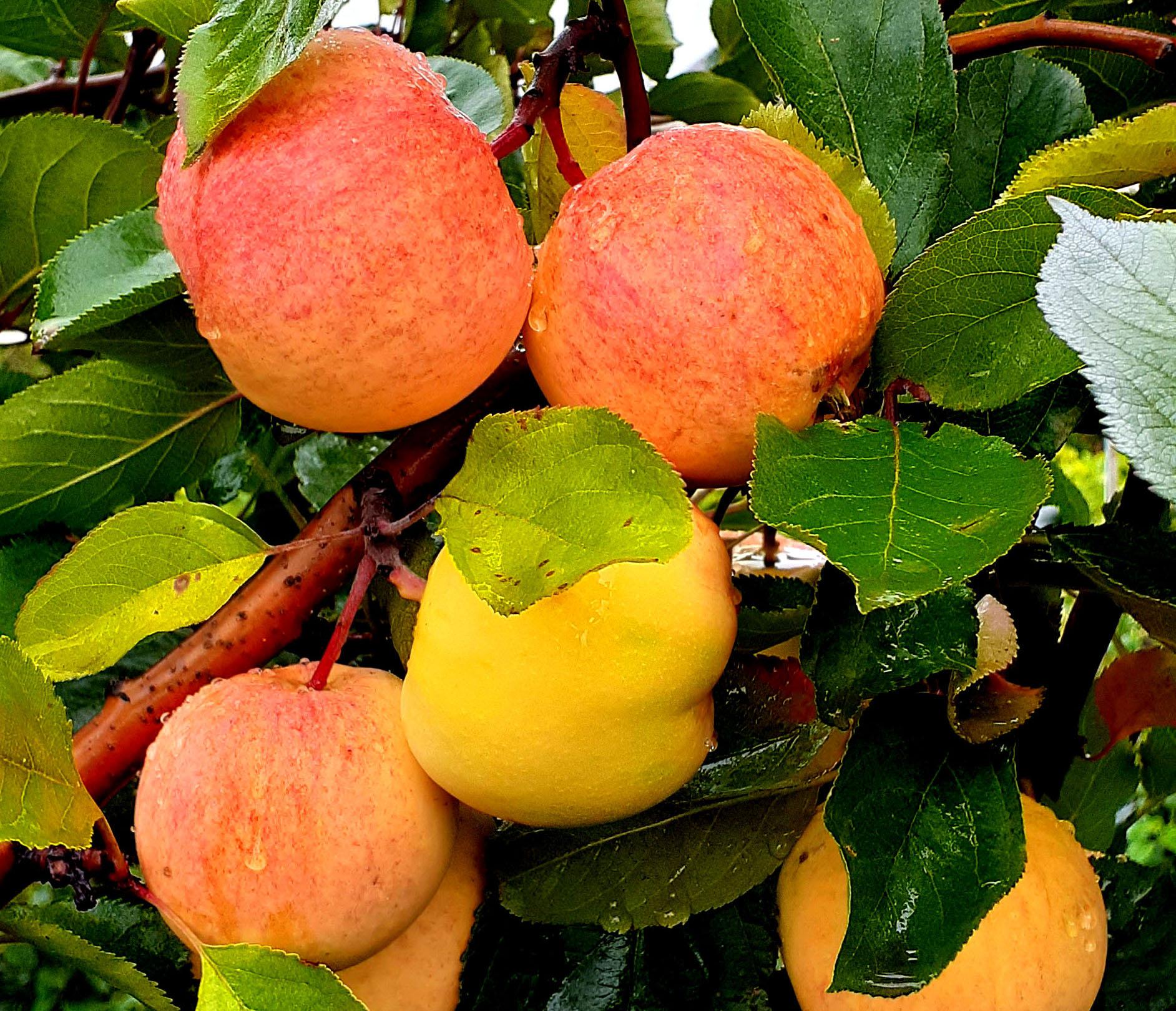 проводится яблоня данила описание фото хлопотный день